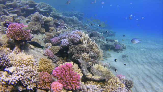 schnorcheln am korallenriff mit schule von snapper / rotes meer - riff stock-videos und b-roll-filmmaterial