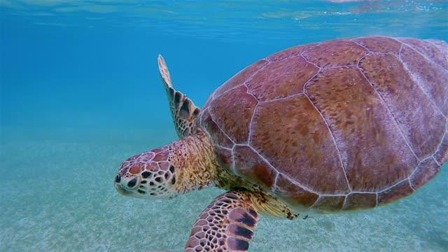 Schnorcheln mit grünen Meeresschildkröte im karibischen Meer in der Nähe von Akumal Bay - Riviera Maya / Cozumel, Quintana Roo, Mexiko