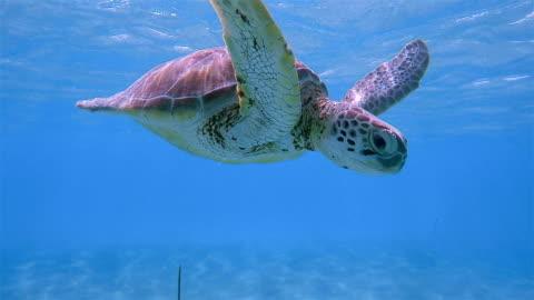 snorkeling with green sea turtle in caribbean sea near akumal bay - riviera maya / cozumel , quintana roo , mexico - caribbean sea stock videos & royalty-free footage