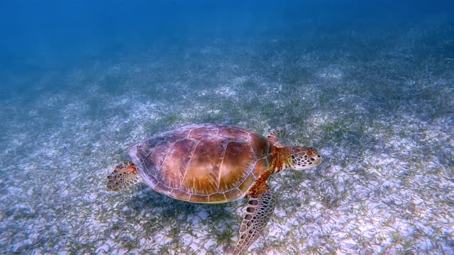 Snorkeling with Green Sea Turtle in Caribbean Sea near Akumal Bay - Riviera Maya / Cozumel , Quintana Roo , Mexico