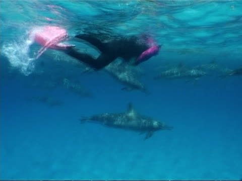 MS snorkeller swimming with large pod of Spinner dolphins, Stenella longirostris, Egypt