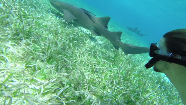Snorkler swims along side large Nurse shark and her young
