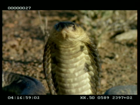 bcu snouted cobra (aka egyptian cobra) extending & relaxing its hood, tilt down across body - danger stock videos & royalty-free footage
