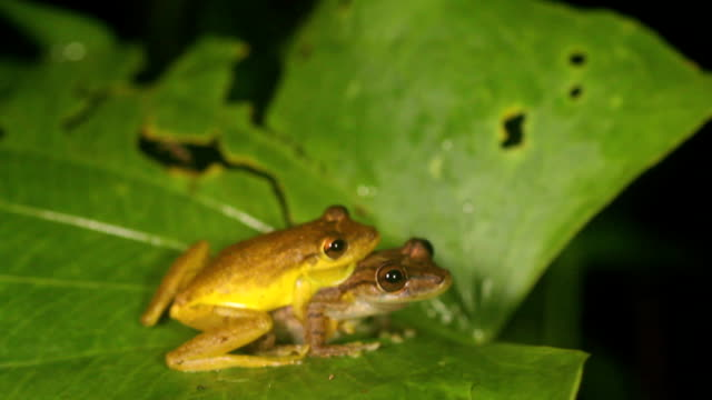 snouted treefrog - biological process stock videos and b-roll footage