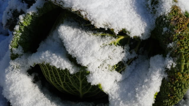 snow and frost on savoy cabbage - savoy cabbage stock videos & royalty-free footage