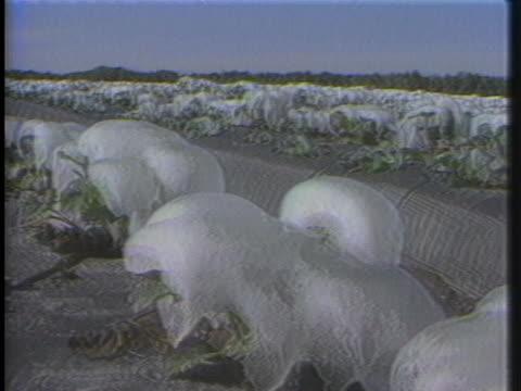 vídeos de stock e filmes b-roll de snow and ice destroy the florida orange crop. - bosque