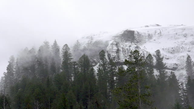 Snow blowing through trees, Yellowstone National Park, winter