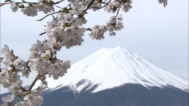 vidéos et rushes de snow capped mount fuji behind cherry blossoms swaying in the breeze, yamanshi - préfecture de yamanashi