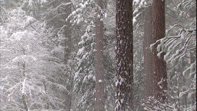 snow clings to tree trunks and branches in a forest in yosemite valley. - californian sierra nevada stock videos & royalty-free footage