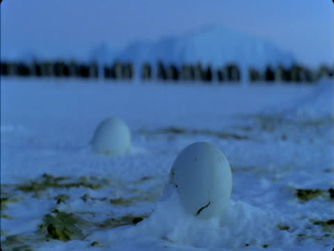 vidéos et rushes de snow collects around a frozen emperor penguin egg in antarctica. - manchot