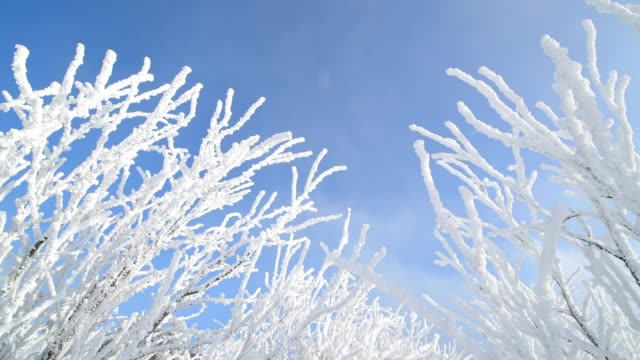 Snow covered branches in winter, Mount Fichtelberg, Oberwiesenthal, Erzgebirge, Ore Mountains, Saxony, Germany, Europe