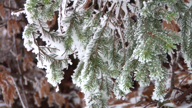 hd: snow covered branches - spruce tree stock videos & royalty-free footage