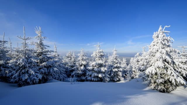 Snow covered coniferous trees at sunrise in winter, Mount Fichtelberg, Oberwiesenthal, Erzgebirge, Ore Mountains, Saxony, Germany, Europe