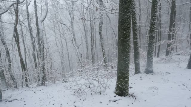 Snow covered forest in winter, Orscholz, Saar Valley, Saarland, Germany, Europe