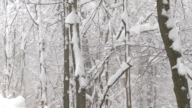 HD: Snow covered forest
