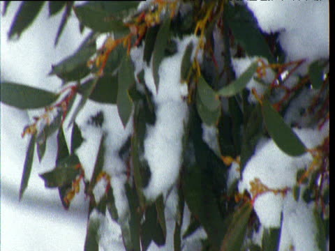 Snow covered leaves of snow gum waving in breeze, Australian Alps, Kosciuszko National Park, New South Wales