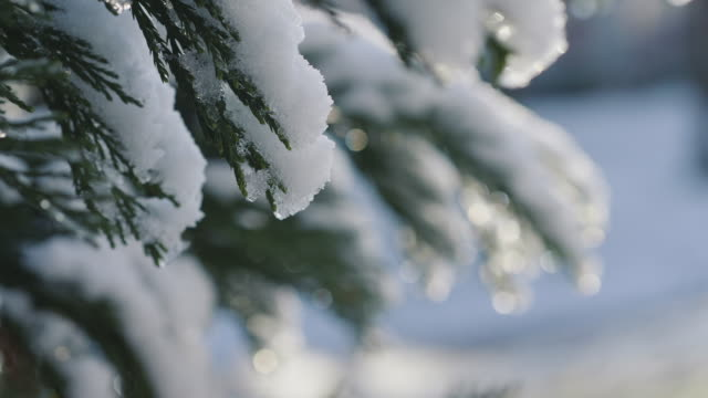 snow covered pine tree branches - focus on foreground stock videos & royalty-free footage