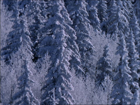 snow covered pine trees blowing in wind - pinacee video stock e b–roll