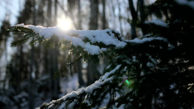 snow covered pine trees on sunset - coniferous stock videos & royalty-free footage