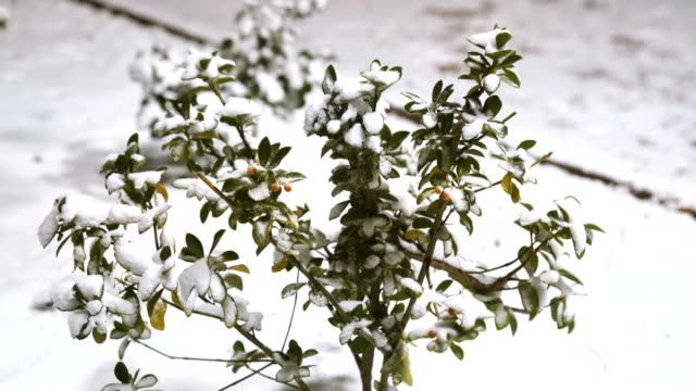 Snow covered plants