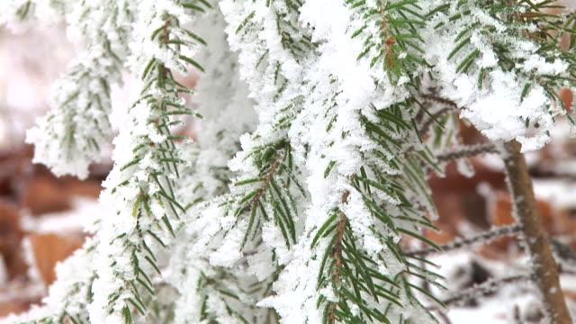 vidéos et rushes de hd : couverts de neige épicéa - conifère