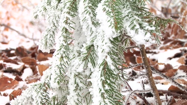 hd: snow covered spruce tree - spruce tree stock videos & royalty-free footage