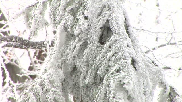 vídeos y material grabado en eventos de stock de hd: cubierto de nieve de spruce tree - aguja parte de planta