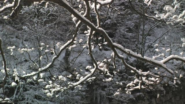 Snow covered trees in winter, Honshu, Japan