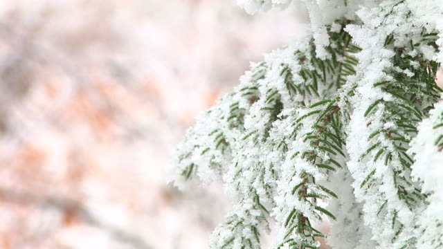 hd: snow covered twigs - spruce tree stock videos & royalty-free footage