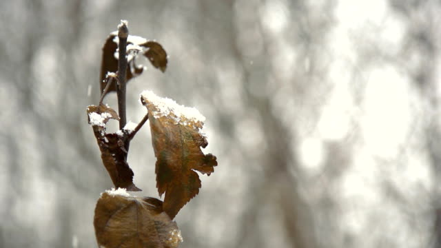 stockvideo's en b-roll-footage met hd super slow-mo: snow covering dead leaves - kale boom