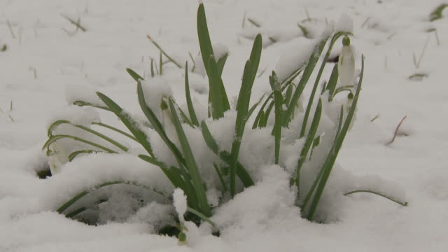 Snow covering flowers melts