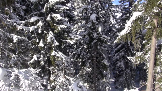 vidéos et rushes de snow covers conifers in an alpine forest. - bo tornvig