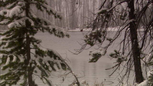 snow covers the branches of evergreen trees beside a lake in yellowstone national park. - evergreen stock videos & royalty-free footage