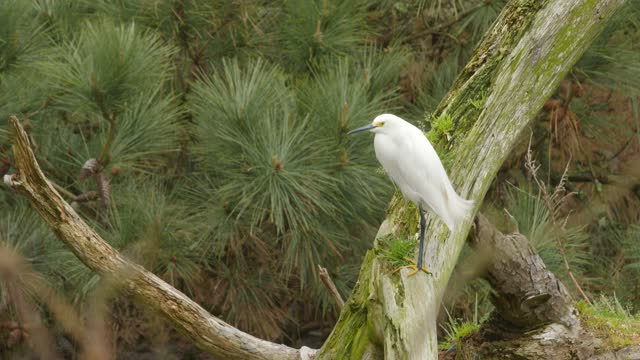 snow egret sits perched over marshland amidst pandemic related restrictions on march 28, 2021 in chincoteague, virginia. there have been 546,299... - egret stock videos & royalty-free footage