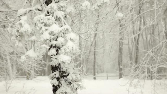vídeos y material grabado en eventos de stock de snow falling en blizzard y pinos en invierno (vídeo - aguja parte de planta