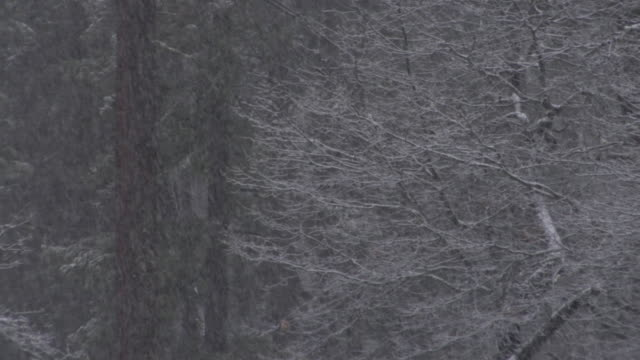 stockvideo's en b-roll-footage met ms snow falling on bare tree branches in yosemite national park / california, usa - bare tree