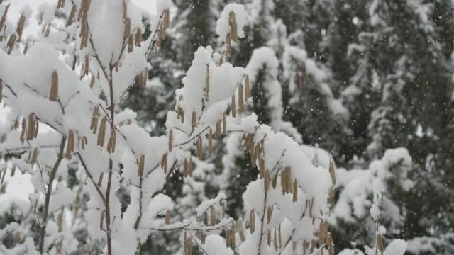 vidéos et rushes de neige tombant sur les branches dans la forêt à la clusaz - neiger