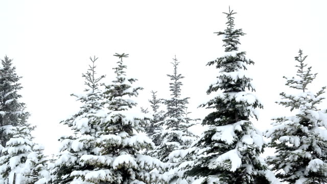 vídeos de stock, filmes e b-roll de neve caindo sobre abetos - snow cornice