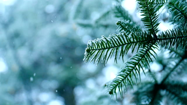 snow falling on pine tree branches - pine branch stock videos & royalty-free footage