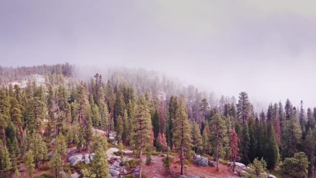 Snow Falling on Sequoia Forest