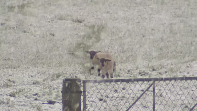 snow falling on sheep and lambs on farm - sheep stock videos & royalty-free footage