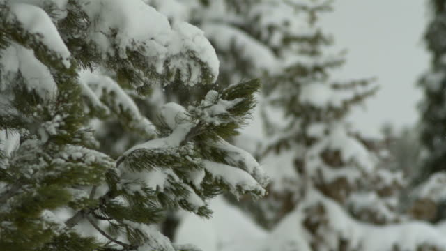 slo mo snow falls from pine branch, france - moving down stock videos & royalty-free footage