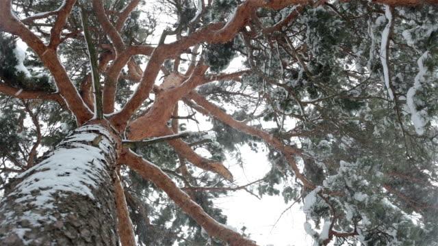 vídeos de stock e filmes b-roll de snow falls from the branches of pine trees. - pine
