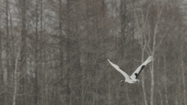 snow falls in front of bare trees as red crowned cranes (grus japonensis) fly past. japan - crane stock videos & royalty-free footage