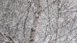 Snow falls in large flakes