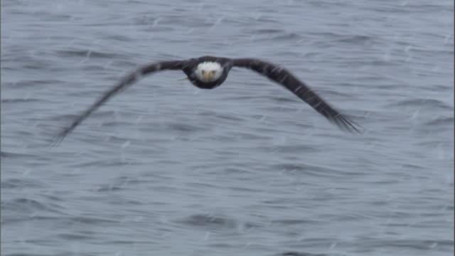 vídeos de stock e filmes b-roll de snow falls on a bald eagle looking for prey. available in hd. - boca de animal