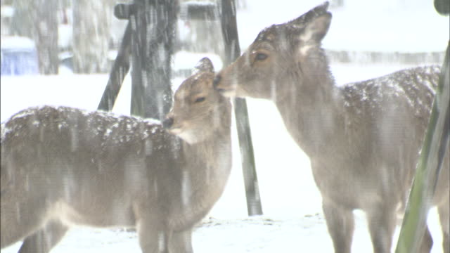 Snow falls on a doe and her fawn on the grounds of the Todaiji Temple.
