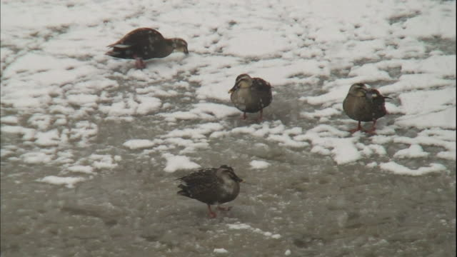 snow falls on ducks standing on a frozen moat. - moat stock videos & royalty-free footage
