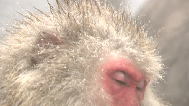 Snow falls on the head of a Japanese macaque soaking in a hot spring.