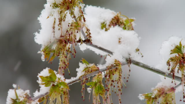 Snow falls on tree branch, close up